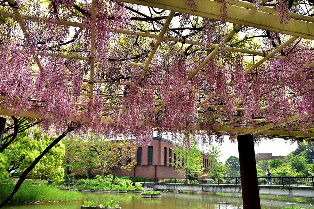 園内は四季を通じて様々な花を楽しめる。藤は4月中旬〜5月上旬